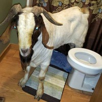 Goat breaks into house through glass door for bathroom nap