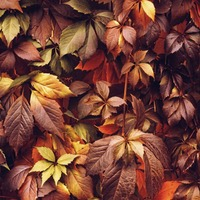 The Casual Gardener: Fiery foliage a colourful upside to autumn's weather downers