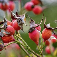 Gardening: Don't forget your roses in the great autumn garden tidy-up