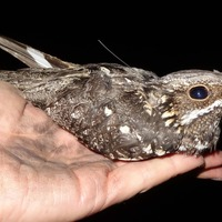 European nightjars more active during moonlit nights, research shows