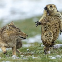 In Pictures: Standoff between fox and marmot wins top photography prize