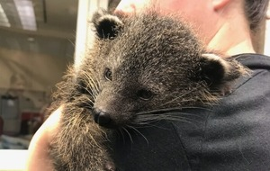 Zoo releases footage of five-week-old baby bearcat snoring
