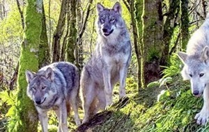 The howl of the wolf is heard once more in County Donegal