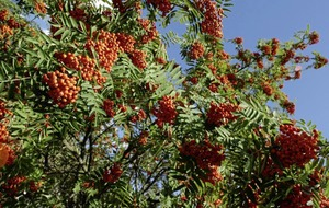 The Casual Gardener: Autumn denudes hedgerows to reveal the brightest berries