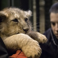Edinburgh Zoo reveals genders of newest lion cubs