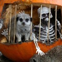Meerkats compare the pumpkins at wildlife park