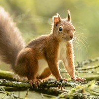 Red squirrels seen scampering around forest in adorable pictures