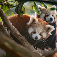 Red panda twins 'ready to explore' after leaving den for first time