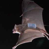 Vampire bats give a little help to their friends