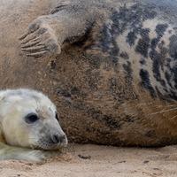 Grey seals arrive at Norfolk beach with their newborn pups