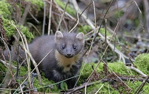 Queen's University research gives pine martens hope
