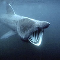 Basking shark swam across the Atlantic from Co Donegal to Cape Cod