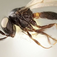 New wasp species named after Idris Elba