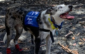 Koala-detection dog helping to sniff out victims of Australia bushfires