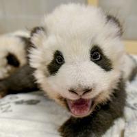 Berlin Zoo shares intimate footage of panda twins