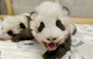 Berlin Zoo shares intimate footage of panda twins