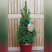 Here's how to find a Christmas tree you can replant instead of throwing it away