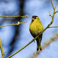 Take on Nature: the siskin is a most joyous bird