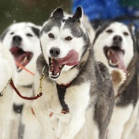Power pup: Details of unique sledge dogs used by the Inuit revealed