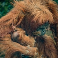 Chester Zoo announces birth of rare Sumatran orangutan