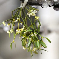 Could real Christmas trees and mistletoe could be losing popularity in the UK?