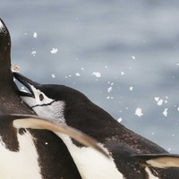 Study looks at impact of krill availability on Antarctic penguins