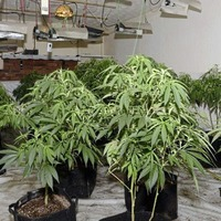 Cannabis factory made up of plants with an estimated street value of around £90,000 discovered in Carrickfergus