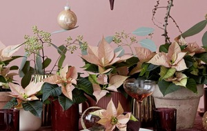 Four unusual ways to style your Christmas poinsettia