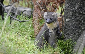 Predatory pine martens 'are helping the red squirrel population to recover'