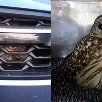 Owl survives three-hour drive trapped in grille of car