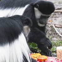 Monkeys enjoy specially baked 'mince pies' ahead of Christmas at London Zoo