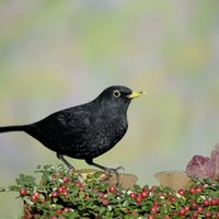 Casual Gardener: Remember to enjoy the berries and birds in your garden this winter