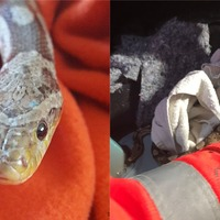 5ft pet snake rescued after getting trapped inside car's gearstick