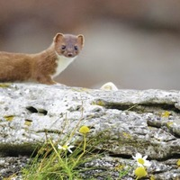 Tony Bailie's Take on Nature: In search of a stoat