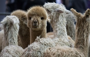 Antibodies found in alpacas 'may prevent Covid-19 infection in humans'