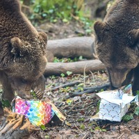 Bears celebrate their birthdays with cake and presents