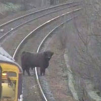 'Absolute unit': Highland cow causes rush-hour rail delays