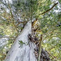 The Casual Gardener: You'll love a eucalyptus