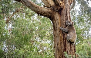 Australian state leader threatens to sack ministers over koalas protection