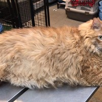 Bazooka, the 35lb cat, finds a forever home