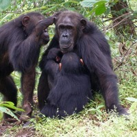 Chimpanzee daughters 'less likely to leave home if mother is powerful'