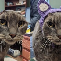 Stray cat with no ears get new crocheted set and finds new home
