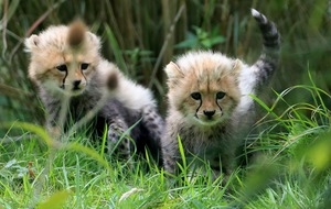 British-born cheetahs to be set free in Africa