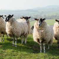Police hunt for Omagh sheep thieves