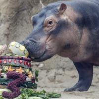 Birthday girl Fiona the hippo helps raise money for Australia wildfire animals