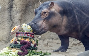 Birthday girl Fiona the hippo helps raise money for Australia wildfire animals