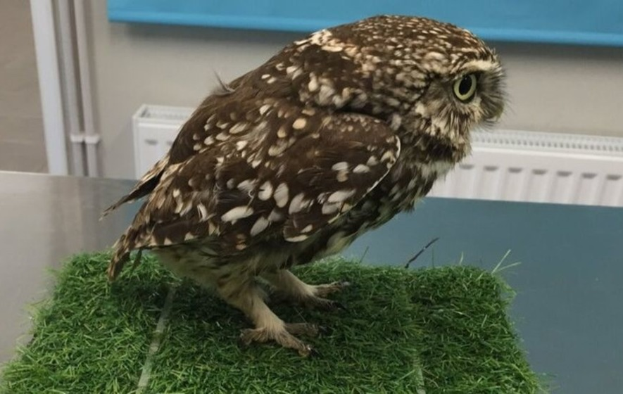 This rescued owl was 'extremely obese' to fly