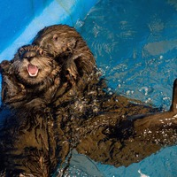 Rescued Alaskan sea otters settle into new home in UK first