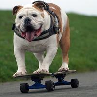 Four legs good, four wheels better for skateboarding bulldog