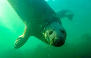 Wild grey seal caught 'clapping' on camera for the first time